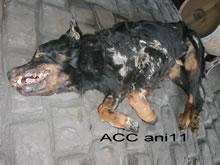 ACC ANI11