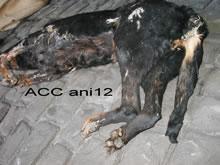 ACC ANI12