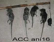 ACC ANI16