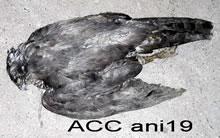 ACC ANI19