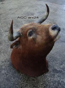 ACC ANI24
