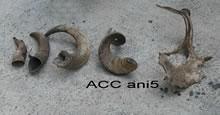 ACC ANI5