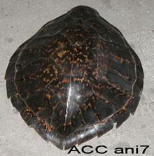 ACC ANI7