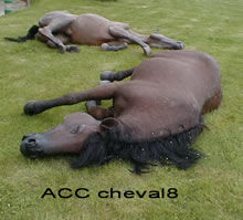 ACC CHEVAL8