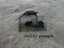 ACC PIEG4