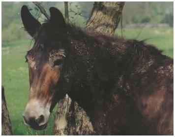 mule5